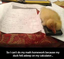 duck-sleeping-on-my-calculator.jpg